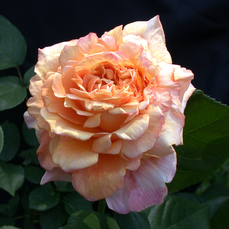 Rose of the Month October 2016: Halloween