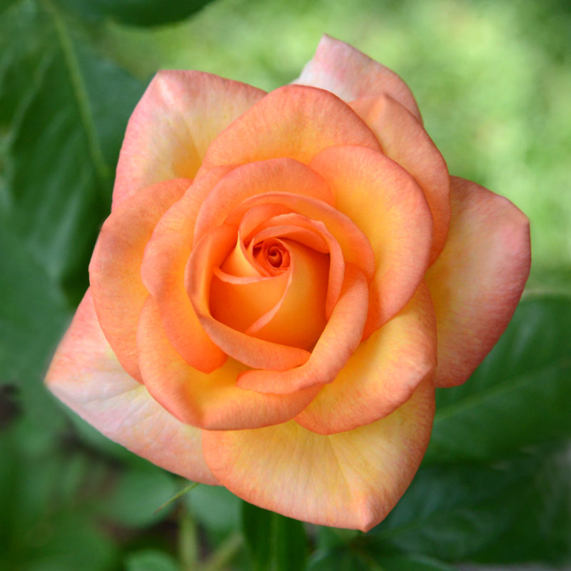 Rose of the Month December 2016: Royal Welcome