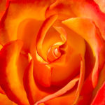 For Your Artistic Imagination Box Set: Rose Flamenco