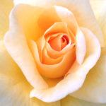 For Your Artistic Imagination Box Set: Rose Sunshine Daydream